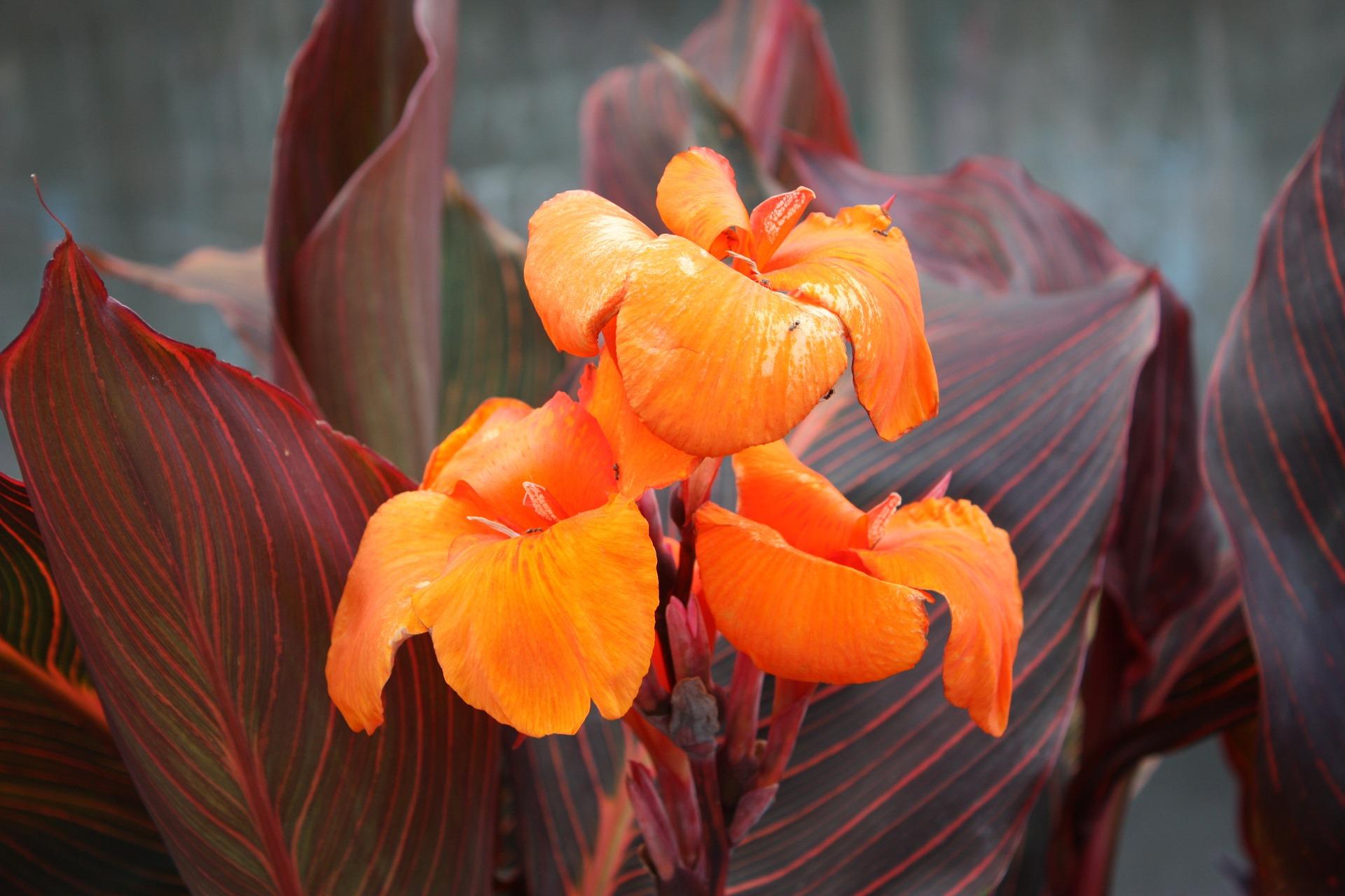 canna lily pixabay.jpg