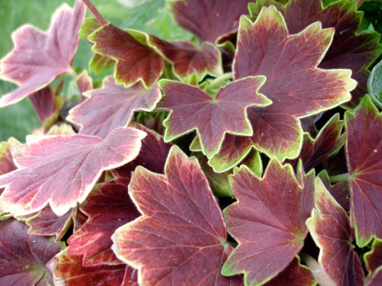 Pelargonium_Vancouver_Centennial wiki.jpg