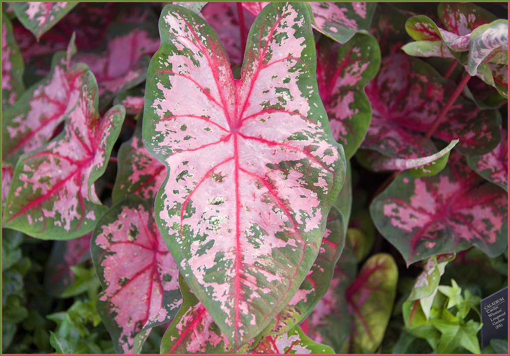 caladium flickr.jpg