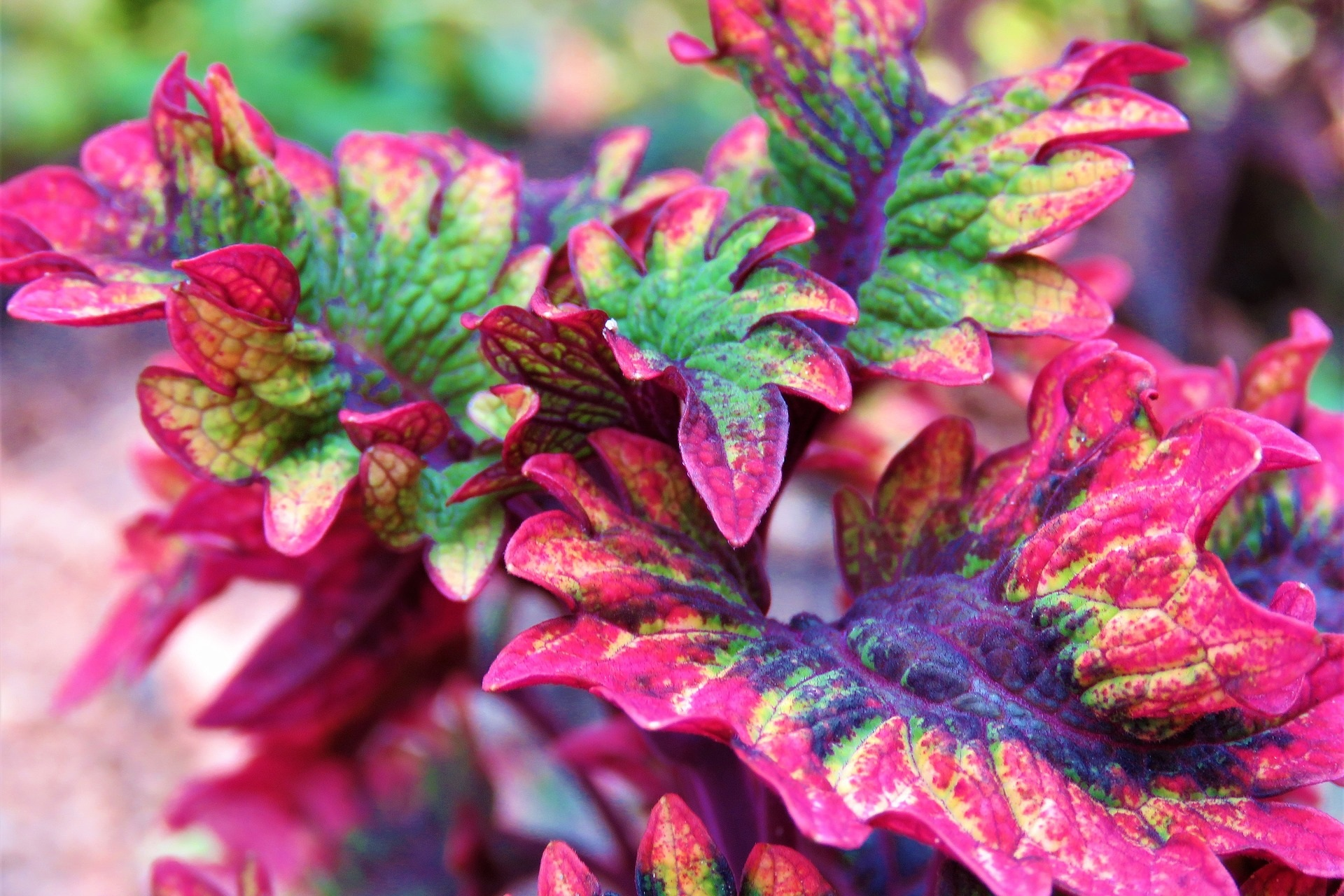Annual Foliage Plants - Use these plants in your annual beds or container gardens to add color and texture beyond just flowers.