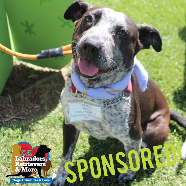 Deja is a 9 month old Pointer mix who is lucky enough to be fostered by Crazy Dog Training (@sdcrazydogs). This smart and energetic girl is so committed to getting her steps in she's learned how to use the treadmill- and absolutely loves it!