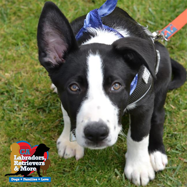This black and white dude is somehow the last of his litter! His mom, Janis, is a long-legged gal and we think she's a mix of Hound, Dane, and Lab. This goofy guy is quite the cuddle bug! In between snuggles, he's working hard on learning new skills like leash walking in his foster home.