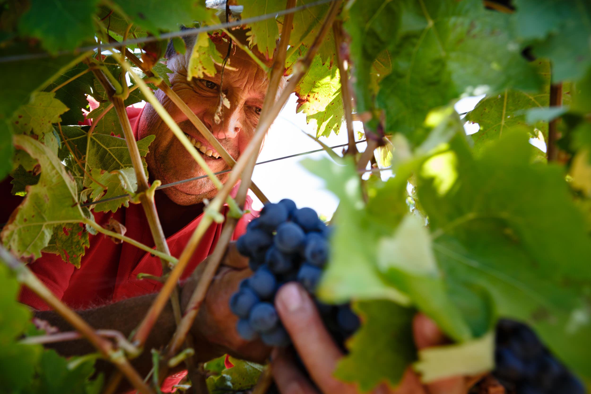 Wine Photography Grape Harvest in Ribera del Duero Toro and Rioja Alavesa Spain - James Sturcke  Photographer | sturcke.org_006.jpg
