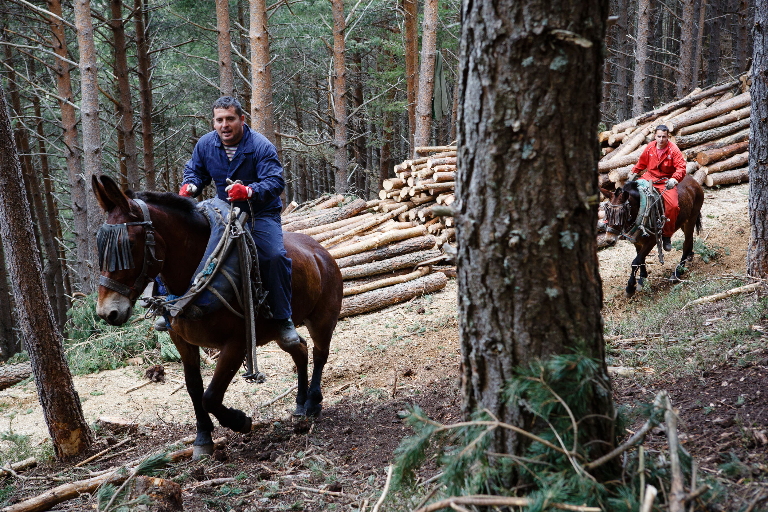 14/5/13 Mules dragging felled pine trunks during forest thinning, near Ezcaray, La Rioja, Spain. Removing trunks by mule causes less environmental damage to remaining forest than mechanical methods. Photo by James Sturcke | www.sturcke.org