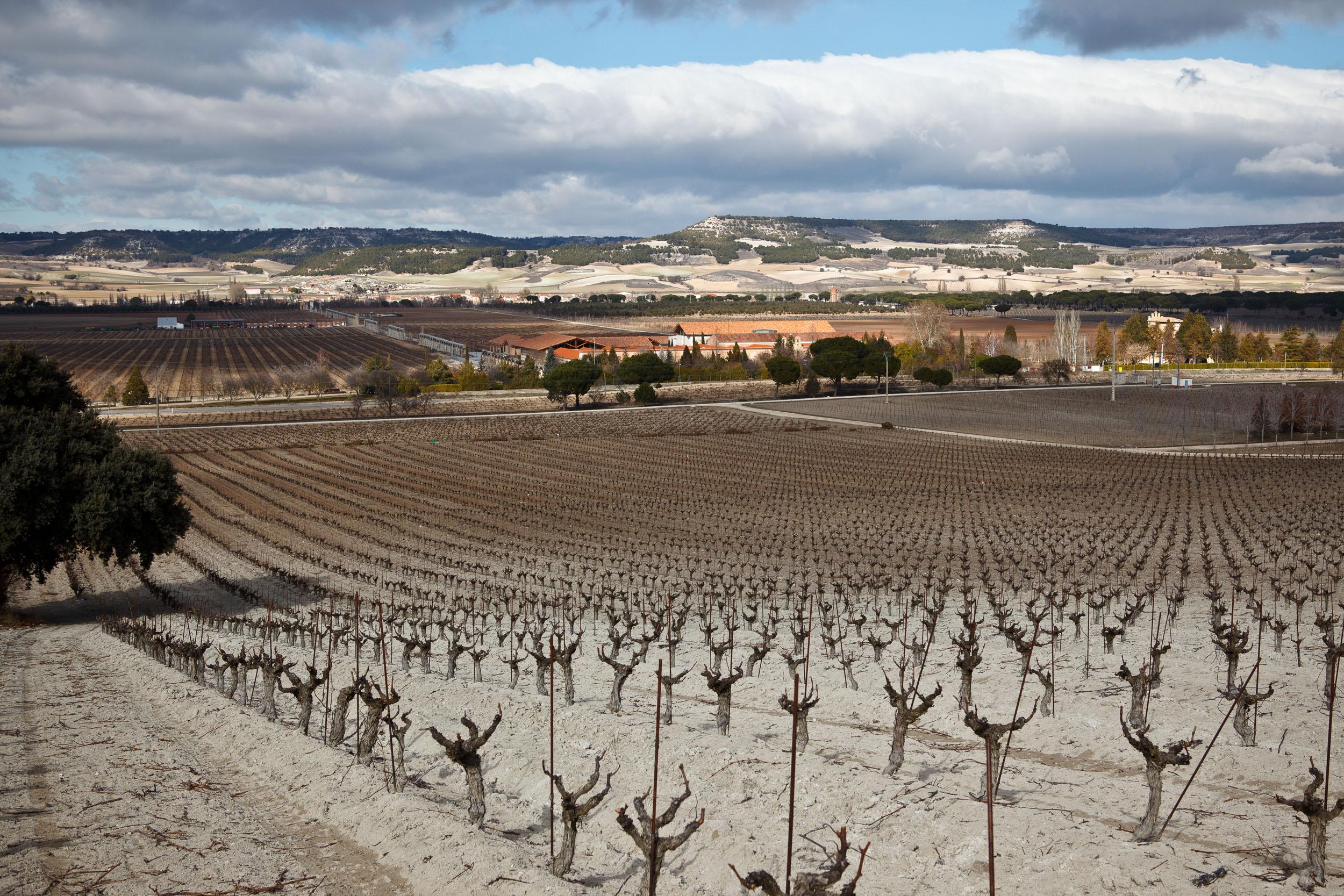 16/2/12 Tempranillo vines at Vega Sicilia Winery, Valbuena de Duero, Castilla y Leon, Spain. Photos by James Sturcke Fotografía | www.sturcke.org