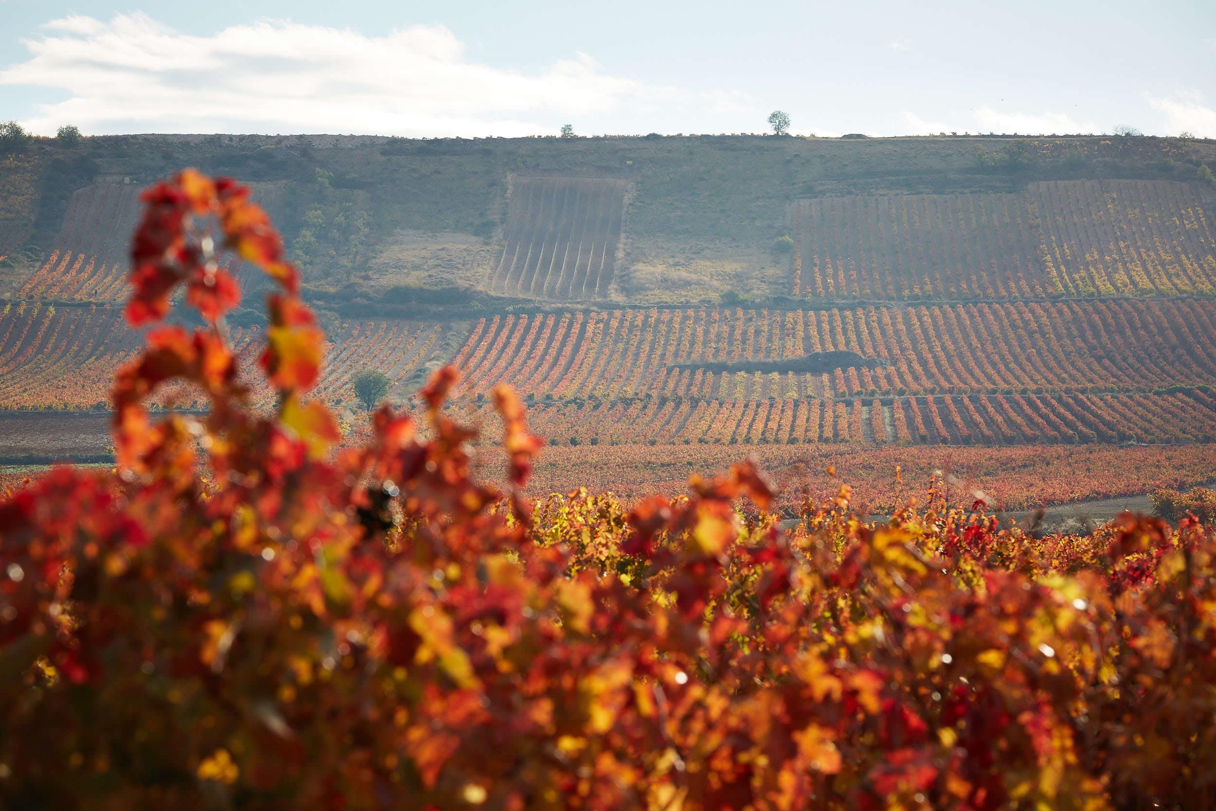 11/11/16 Vinedos de Montecillo cerca de Cenicero, La Rioja, España. Foto de James Sturcke | www.sturcke.org