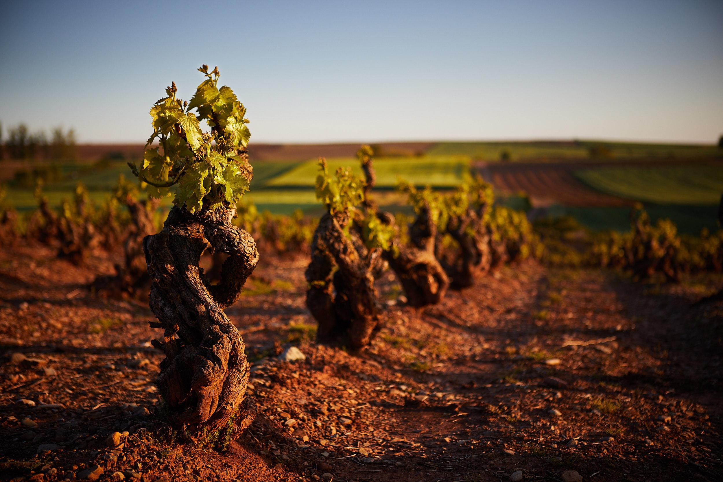 11/5/18 Viñedos de Badarán, La Rioja, España. Photo by James Sturcke | sturcke.org
