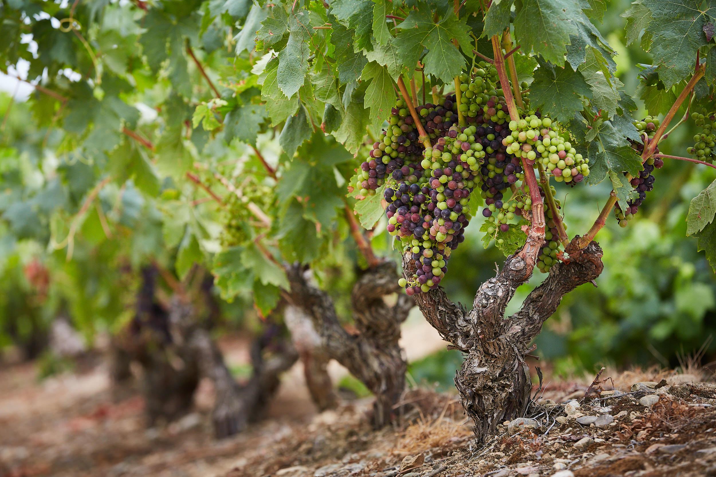 14/8/18 Envero en Ollauri, La Rioja, Spain. Photo de James Sturcke | sturcke.org