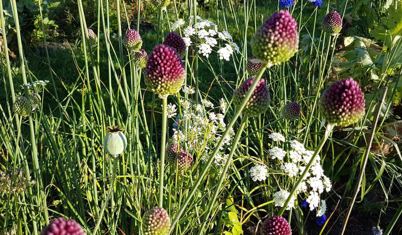 gallery-summer-allium.jpg