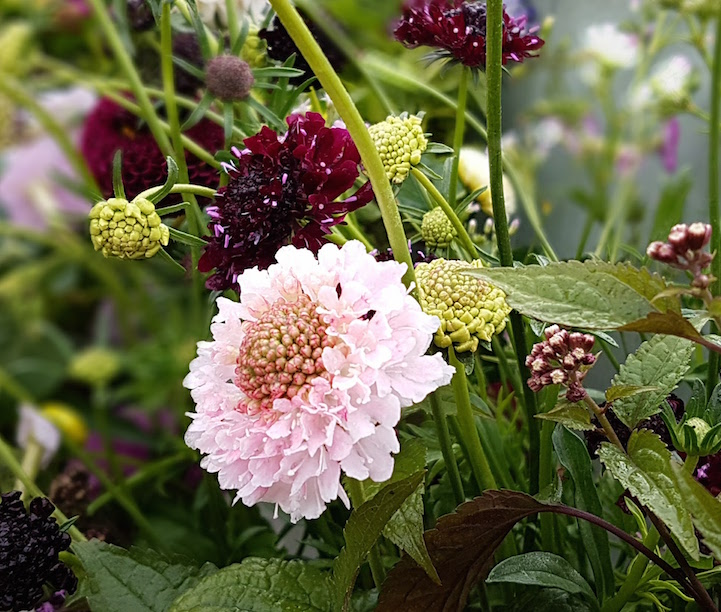gallery-autumn-scabious.jpg