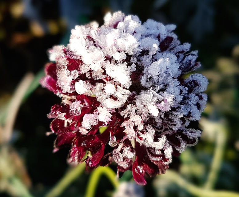 gallery-autum-frosted-scabious,jpg.jpg