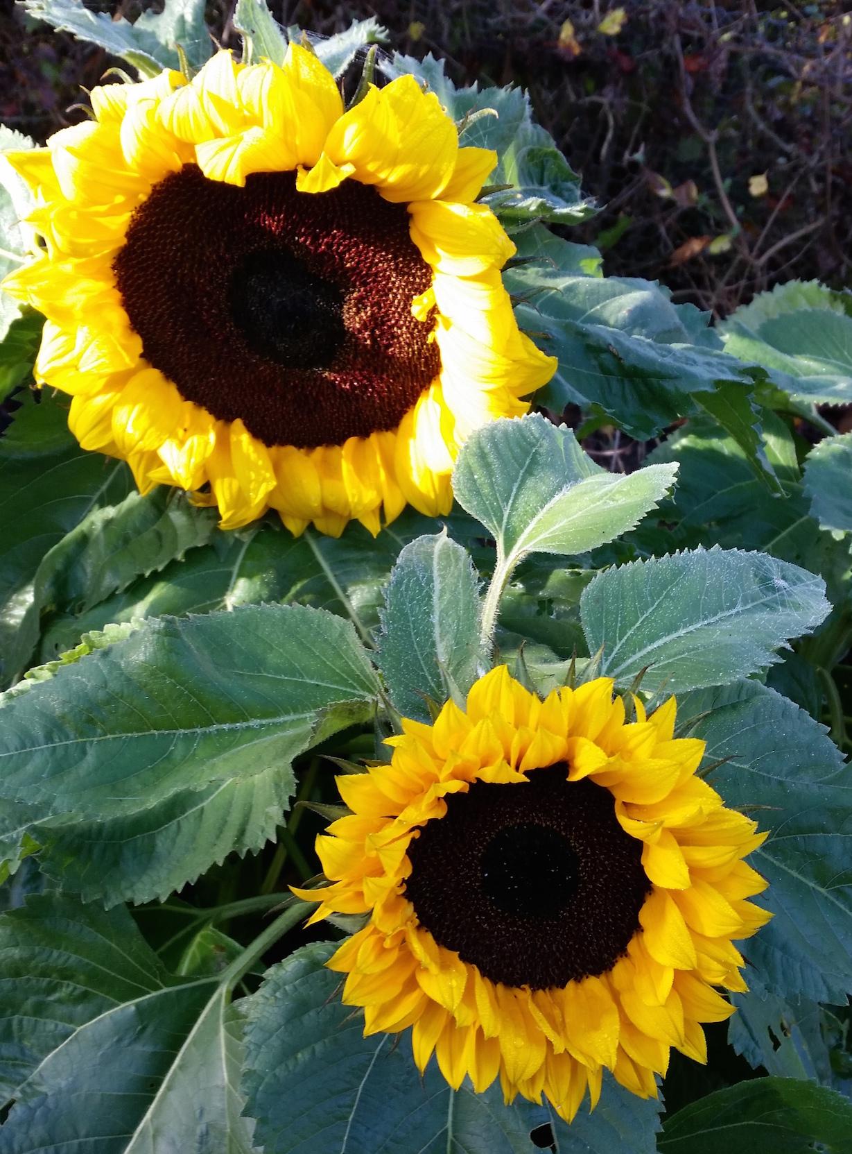 gallery-autumn-sunflower.jpg