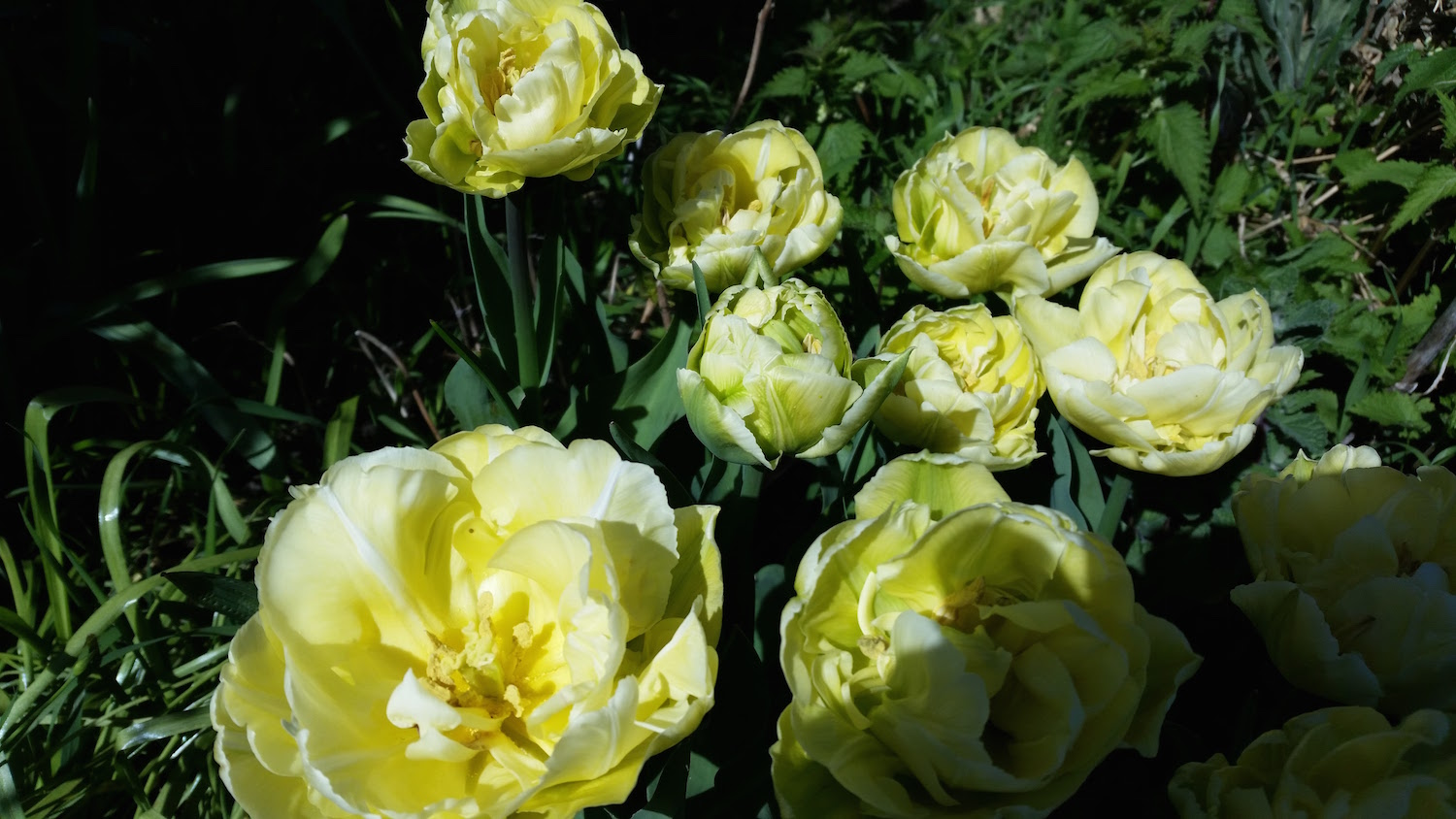 Creamy double tulips almost look like peonies