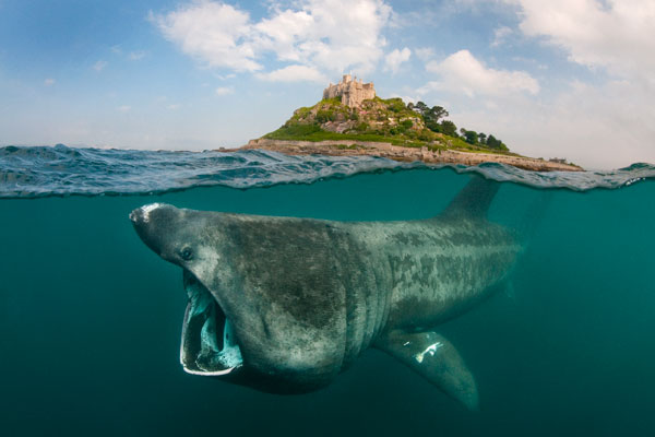 Alex_Mustard_B_600 Basking Shark at St Michael's Mount.jpg