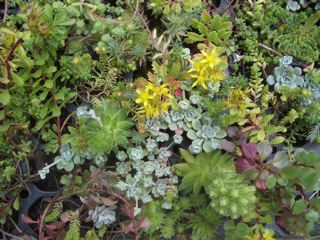 Low maintenance, drought-tolerant to rainfall-only planting