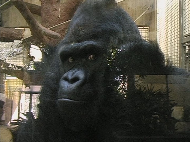 Mopy, the gorilla at the Washington National Zoo, staring out at the entrance to the ape house across from him, as depicted in the construction shown at right.  Installation video stills below