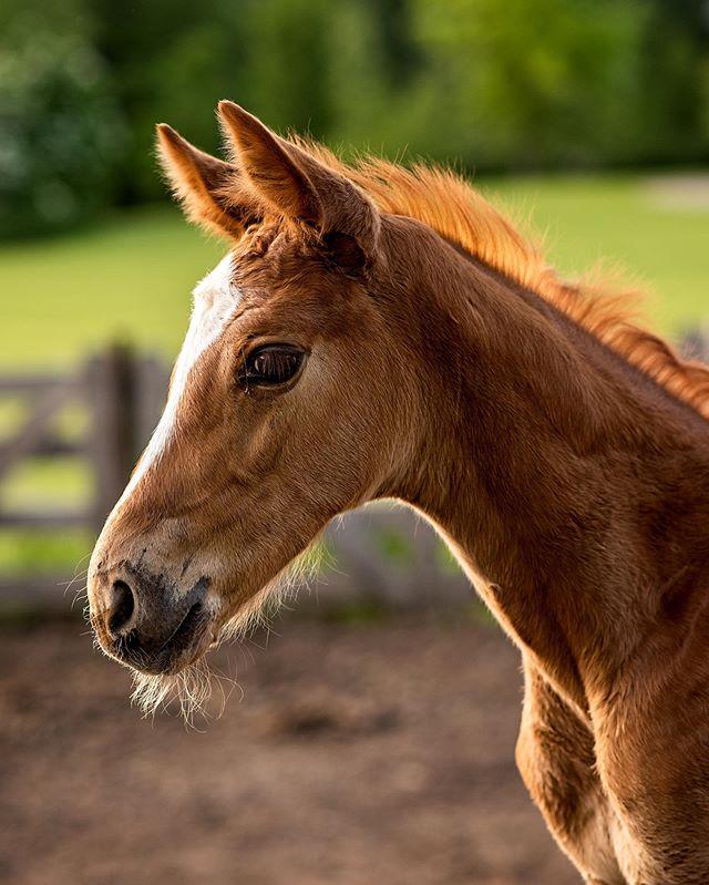 Baby Flipp ♥️😍 - - - #minnesotaphotographer #mnphotographer #foal #horse #horsephotography #equinephotography #horsephotographer #equinephotographer #animals #equestrian #baby #horses #horselover