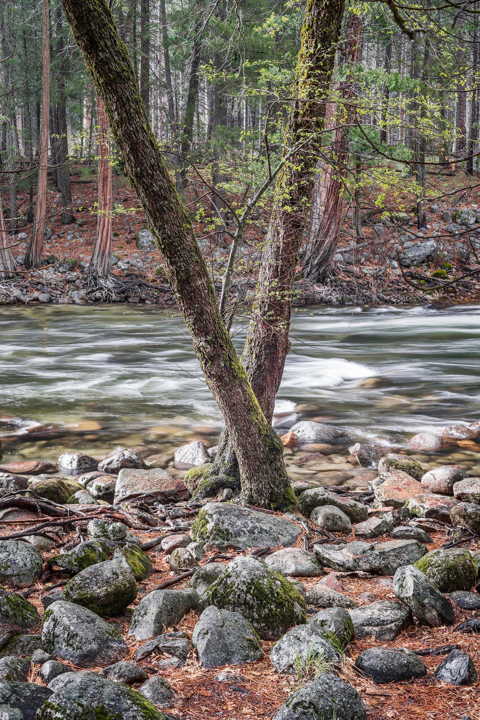 Merced River Trees (0654)