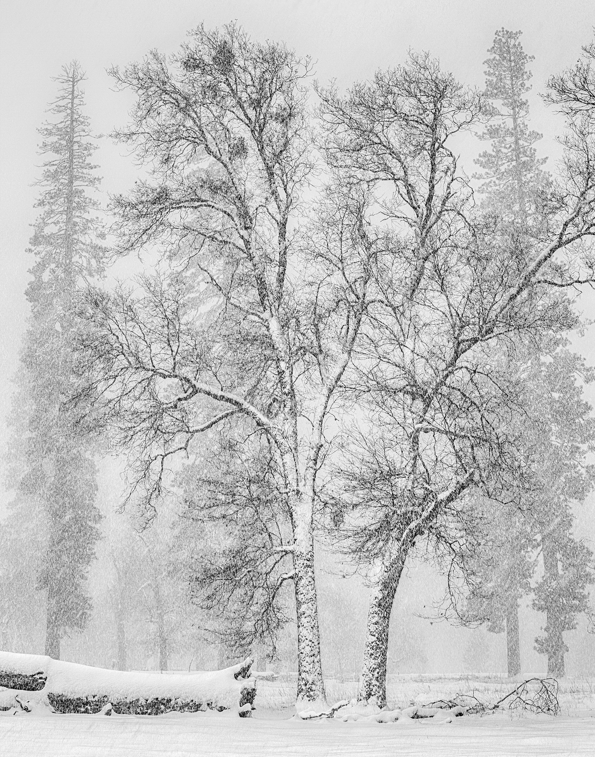 El Capitan Meadow Oaks in Snow (1823-28)