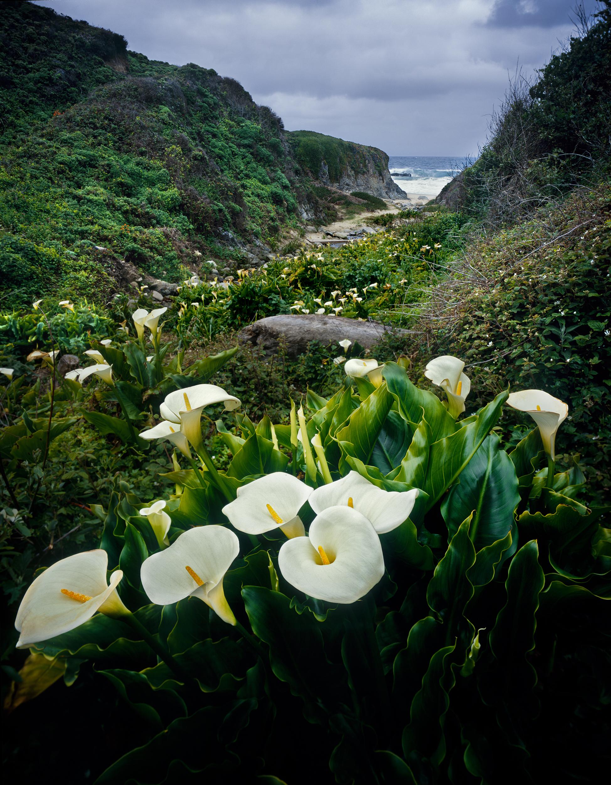 Calla Lilies - Garrapata State Beach (286)