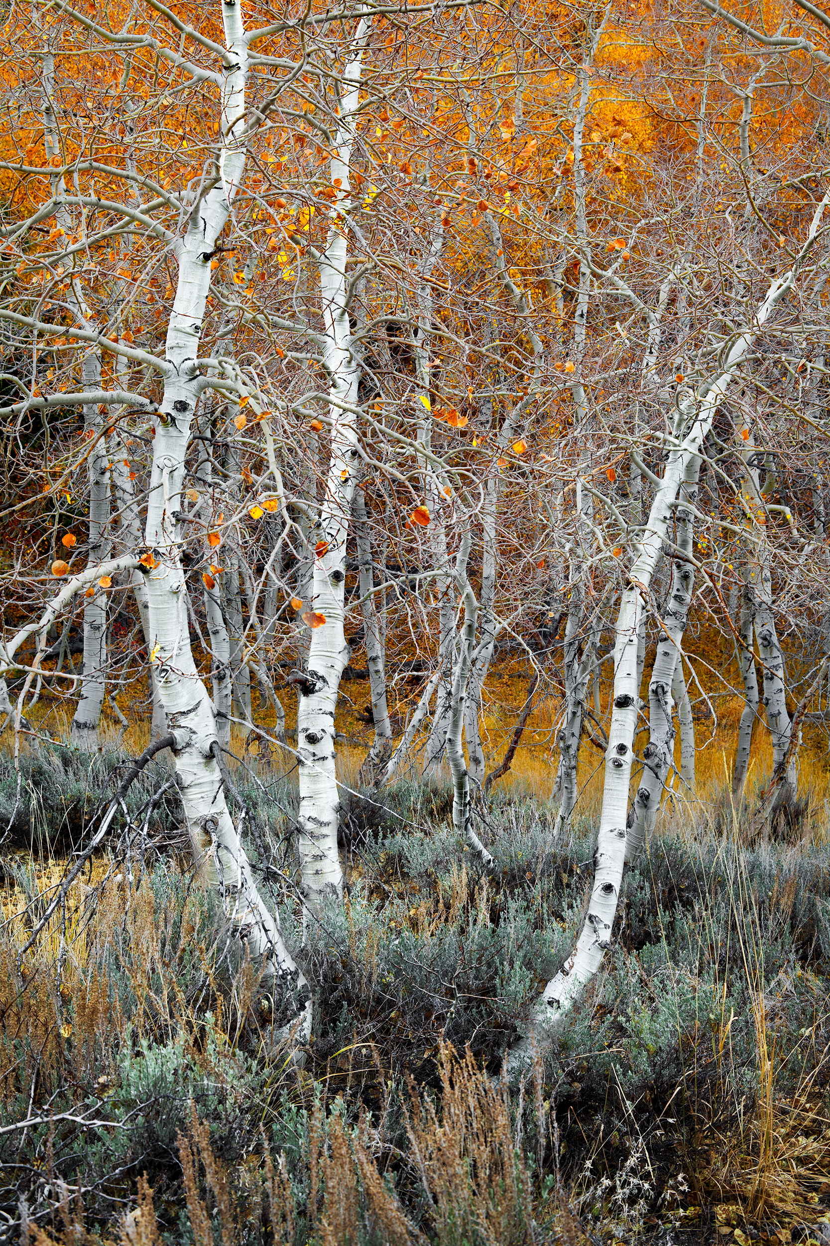 Aspen Grove 3 - June Lake (8523)