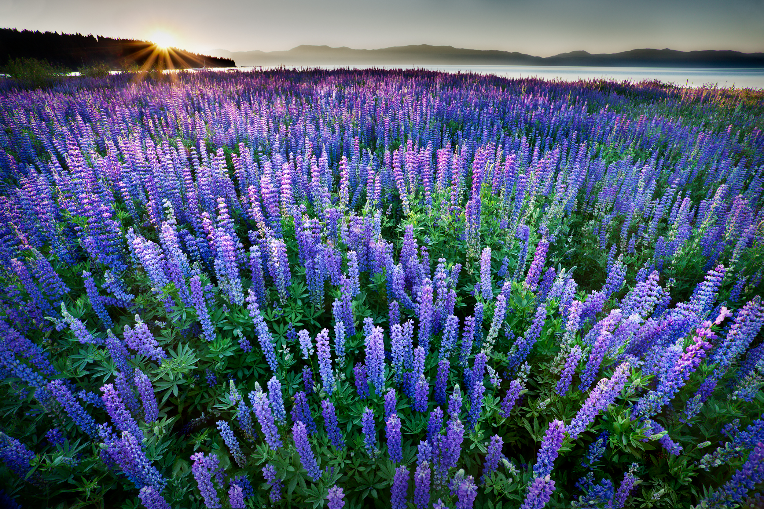 Lupine Sunrise (5686)