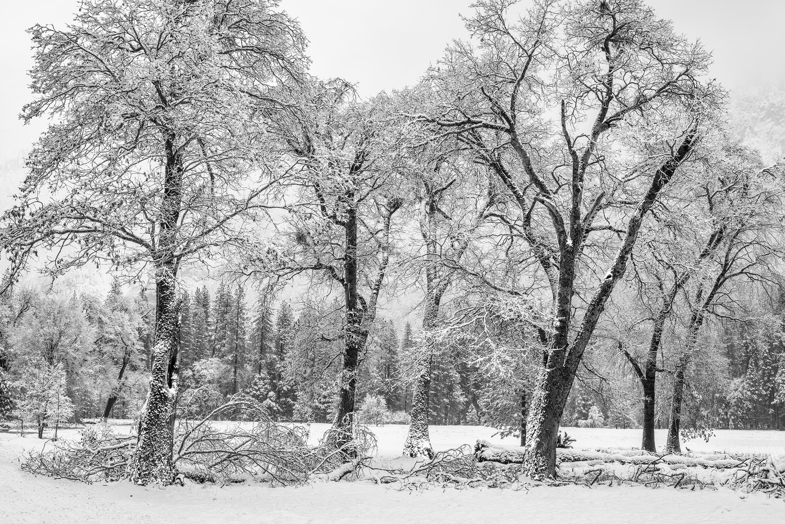 El Capitan Meadow Oaks in Snow (4568-71BW)