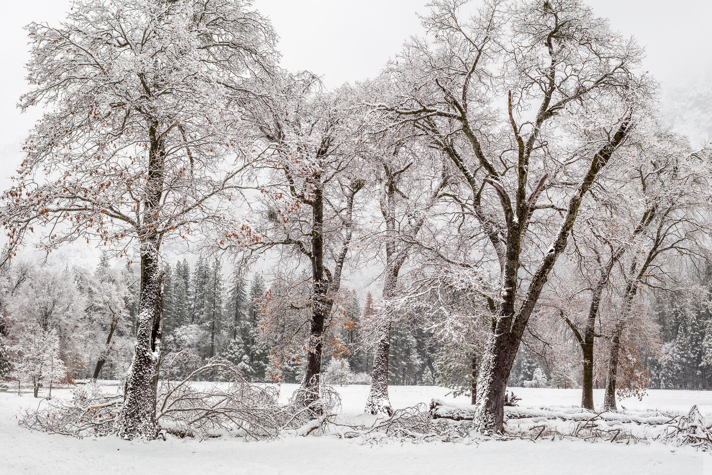 El Capitan Meadow Oaks in Snow (4568-71)