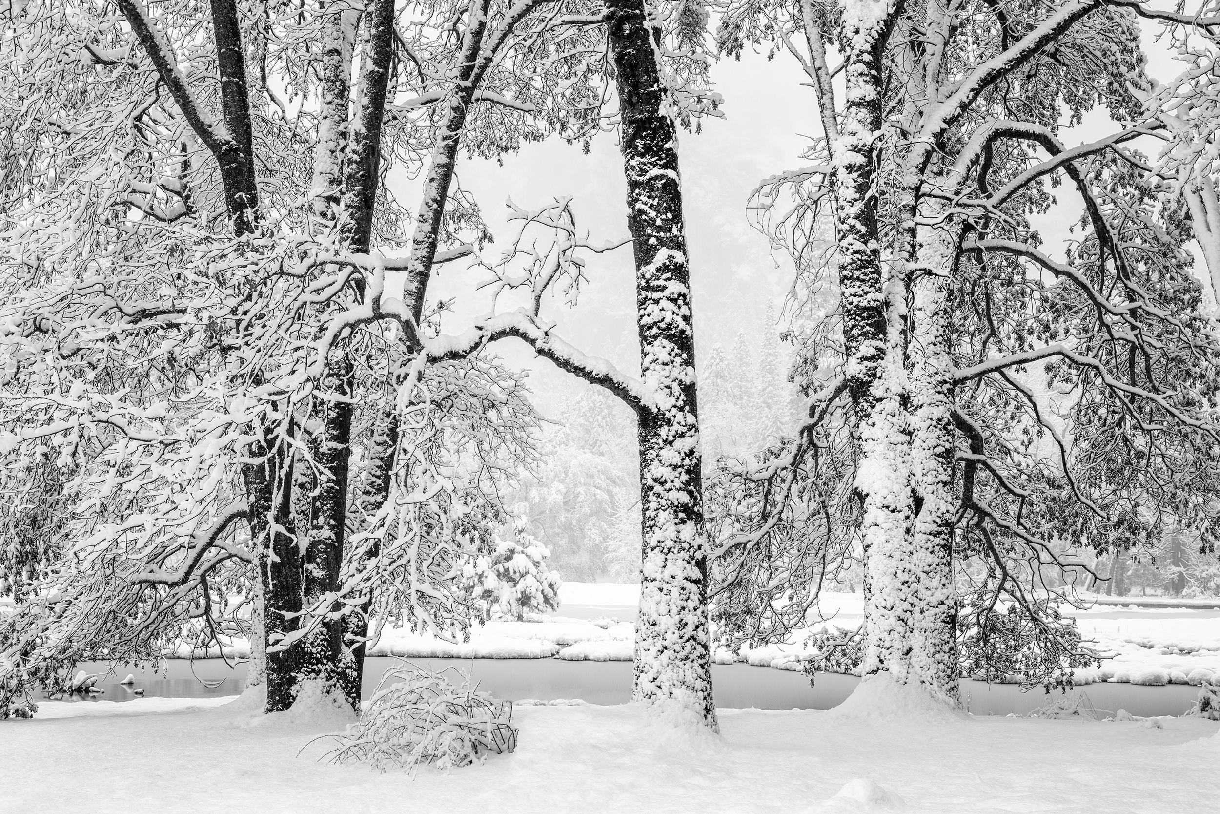 Cook's Meadow Oaks in Snow (4784)