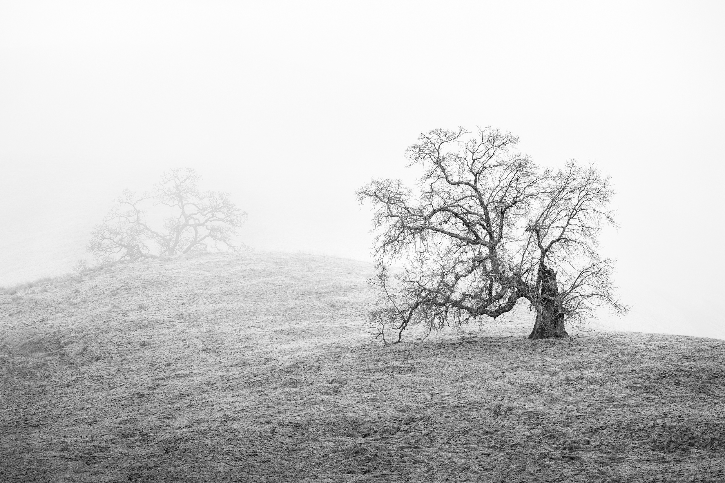 Oak Trees in Fog Study 4  - Joseph Grant Park (5230)