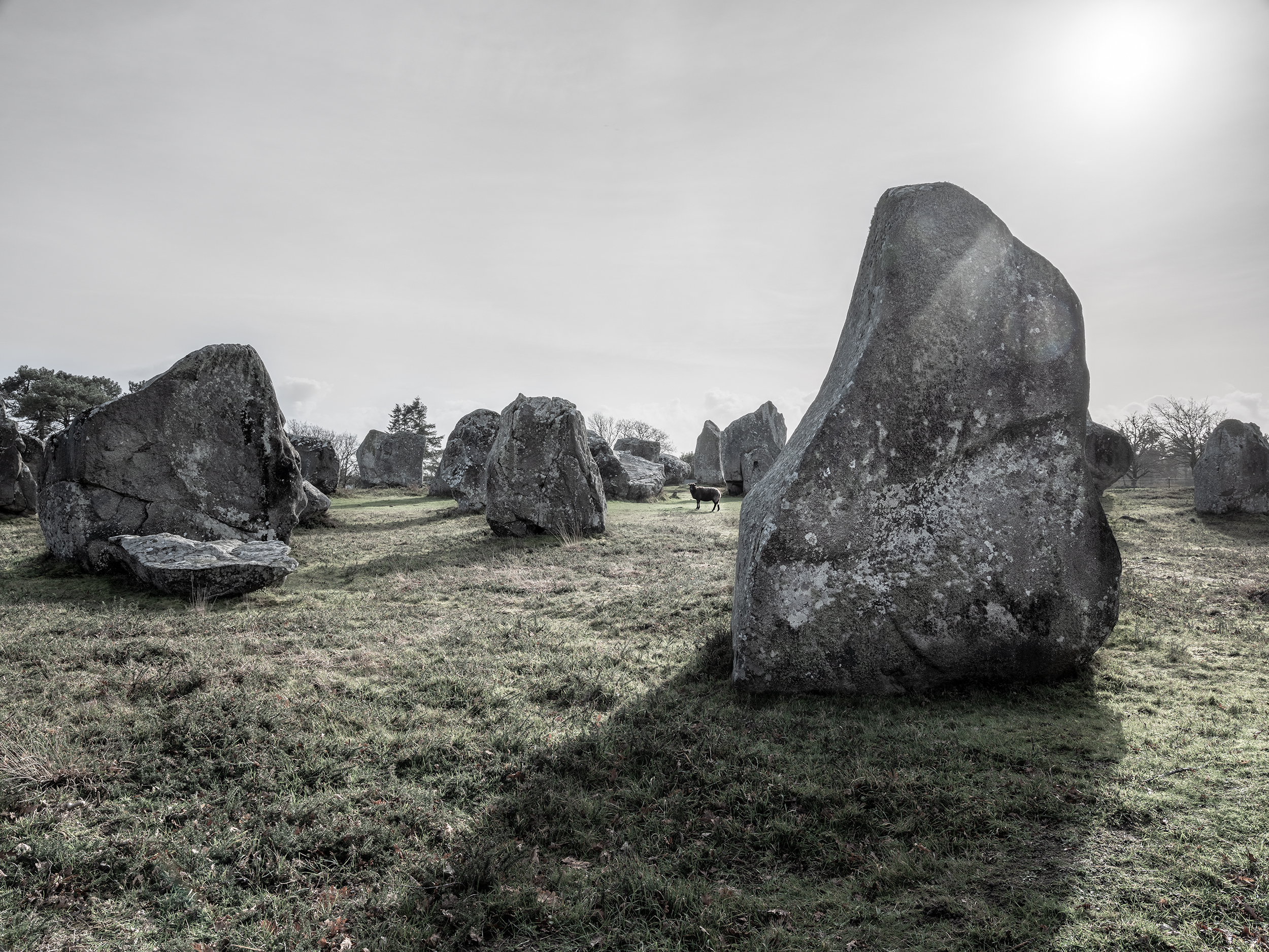 Sheep and Carnac Stones - Carncac, France (3544)