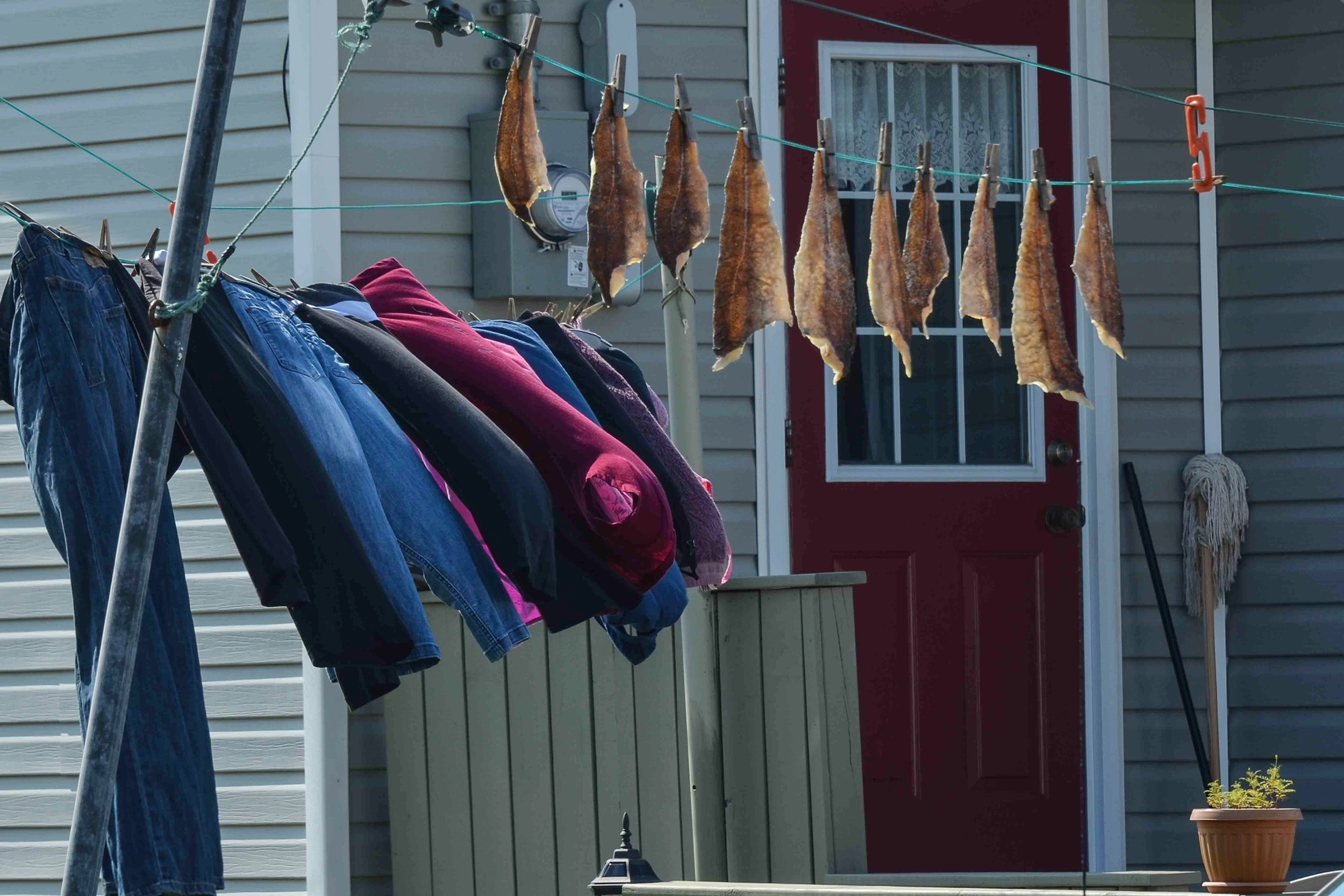 Clothes n' cod. Drying cod is a typical village scene in Newfoundland out villages. Locals are allowed a small recreational quota. These clothes line cod are the typical size these days. In the late 1800s large cod were half the size of a man.