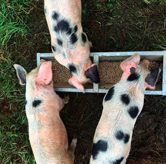 Jan 13, 2018 - The three little pigs, back when they really were little. It's nearly been a week since they've gone, and now the focus is on what we are going to be making from them. It might seem somewhat heartless to be posting these pictures of them as piglets and then discussing sausage and bacon options but this is the reality of the process. I'm nervous about the butchery next week. Although we didn't name the pigs they were very distinctive from their spots and the patches of black and pink skin on their ears. I'm worried I'm going to know who's who when I see them hanging up by their legs. I'm worried I'm not going to deal with it very well. But I also want to do them justice. They died so we can eat them, and I will do everything I can to make sure we use every last bit possible. I'm just not sure how I am going to feel about eating them myself just yet. Part of me thinks as soon as I see them the circle will be complete and the pride and satisfaction of giving them such great lives will outweigh the guilt and sadness. The other part of me is still struggling to sleep and feeling awful about the whole thing and wondering whether I want to eat meat at all. But that's okay. That's why we came on this journey - to face up to the big picture and force ourselves to ask the questions that often we'd rather ignore.