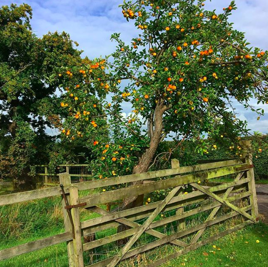 Sept 19, 2017 - The most glorious little tree at the bottom of the garden. The fruit crop is amazing this year - we were clearly meant to get pigs so they can chomp through it all. Normally we do end up wasting quite a lot of the windfall, but it now all gets thrown into the piggy pen - manky bits and all. And they are feasting like royalty.