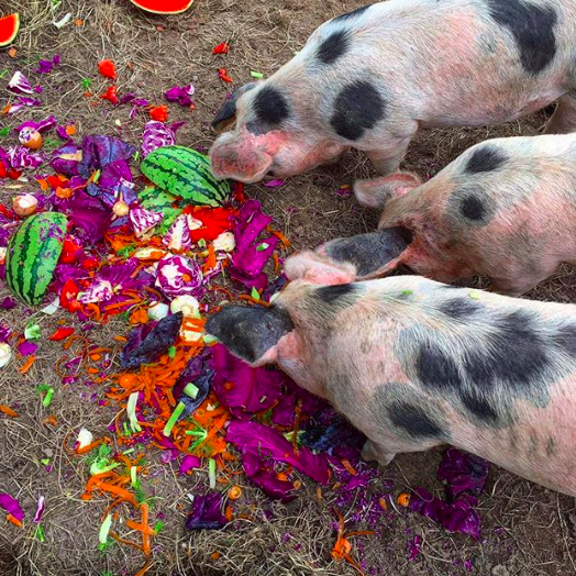 Aug 27, 2017 - Have you ever seen such a colourful breakfast!! It's so pleasing to be giving our pigs everything we don't eat and they absolutely LOVE juicy watermelon, cabbage and carrots. They're also starting to benefit from the apples and pears in the orchard which are slowly starting to drop. One of them is definitely very keen on getting her five a day and will go straight in for the greens over their regular food. We also made some mozzarella using raw cows milk the other day - the piggies got the whey to drink and they were in HEAVEN!