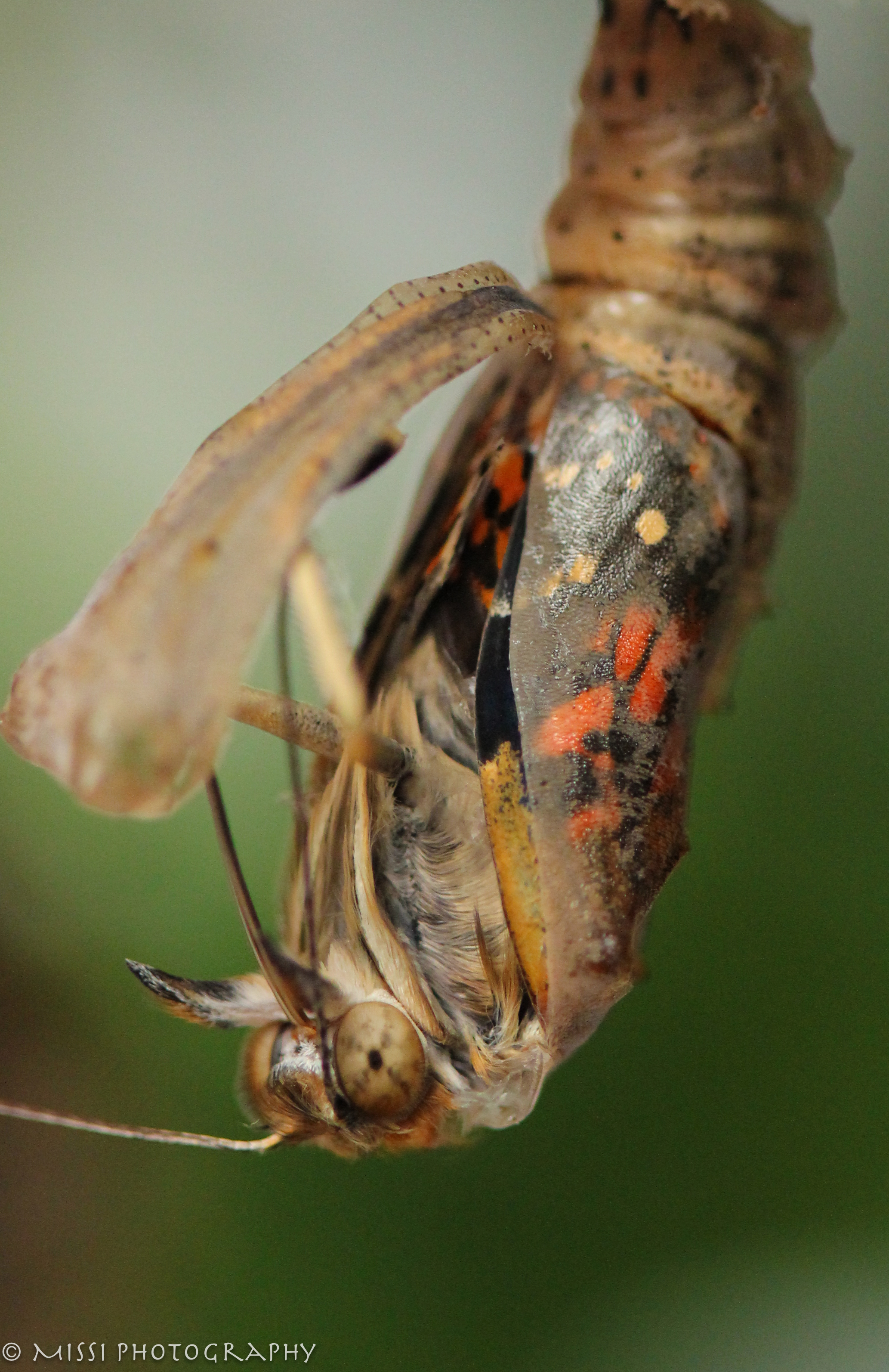 Painted Lady Caterpillar Butterfly Coming Out copy.jpg