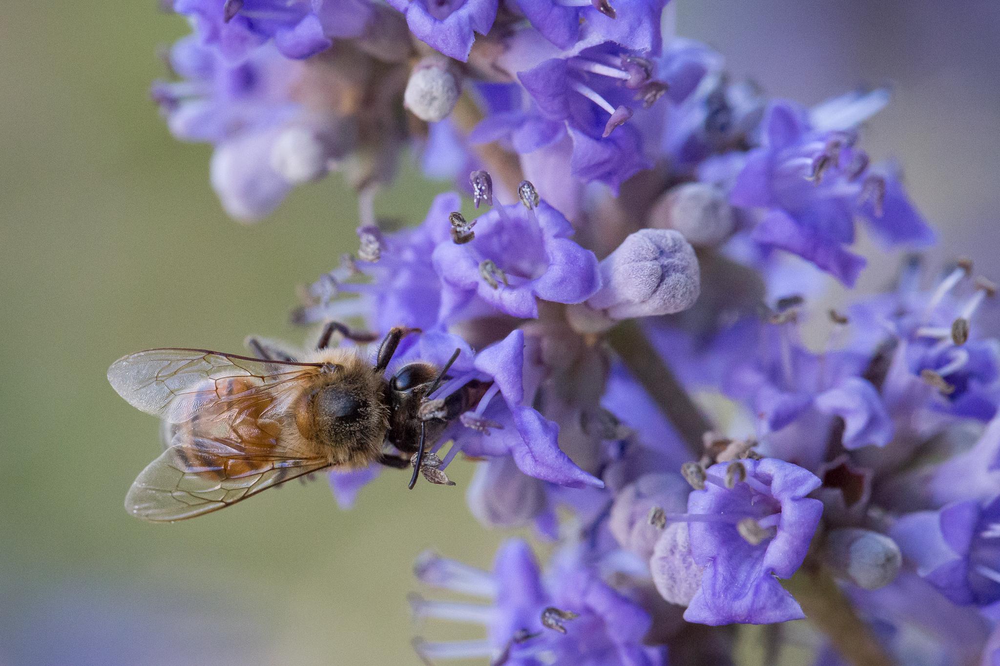 6485Bee and Purple Flower1-.jpg