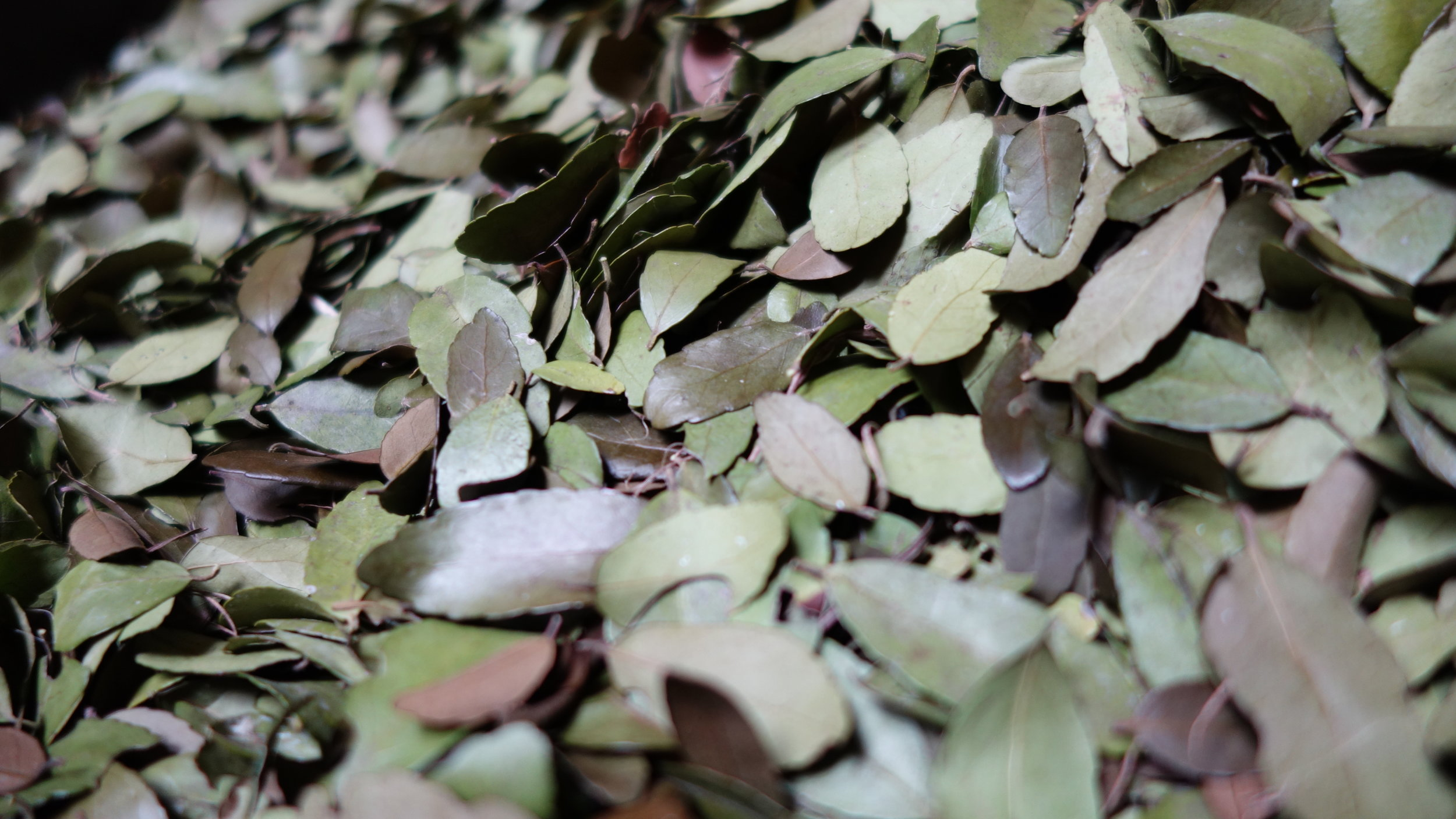 Fresh Yaupon Tea leaves drying, waiting to become delicious Wimberley Tea Company Yaupon Tea.
