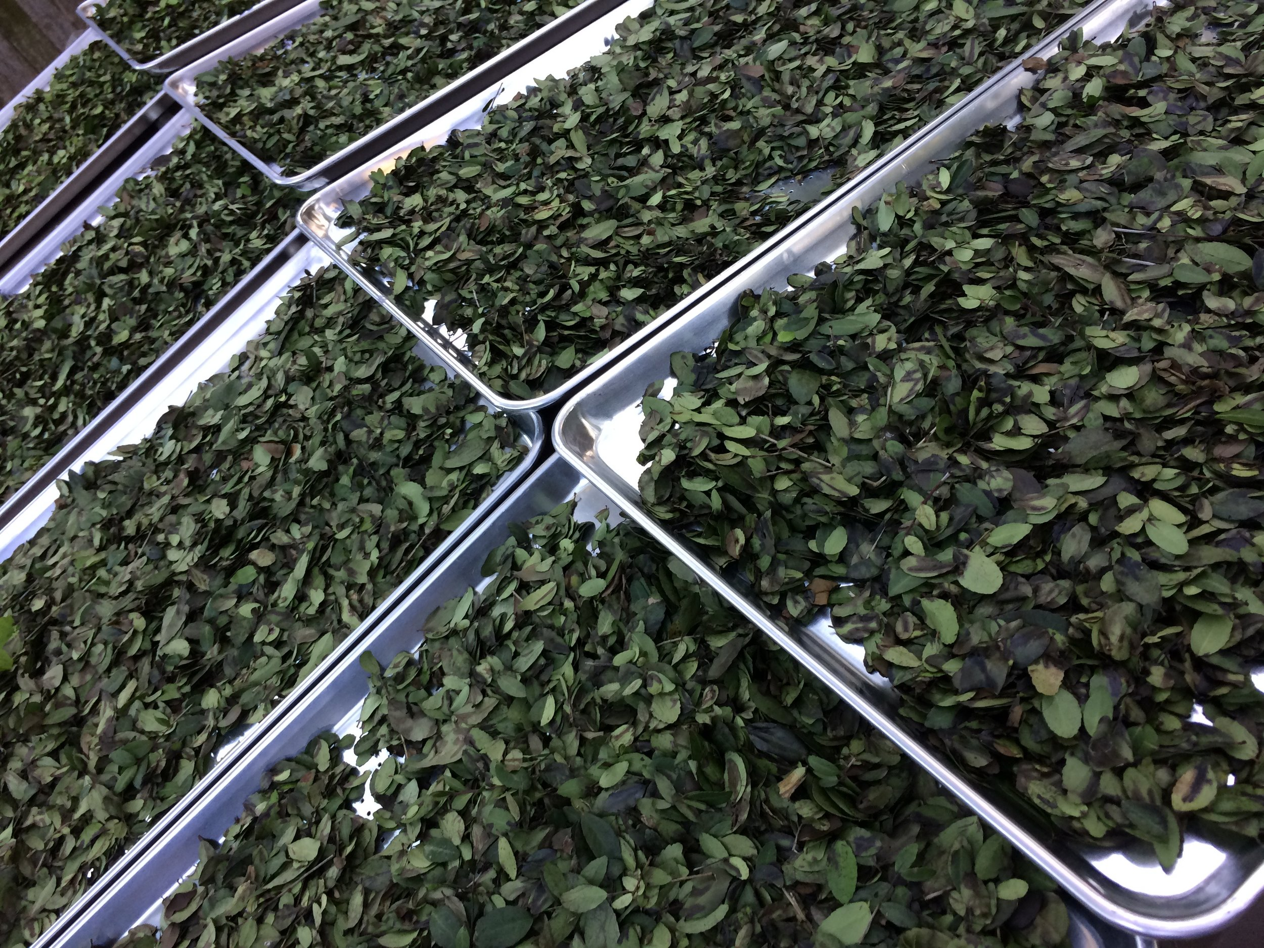 Yaupon Tea leaves rinsed, and ready to dry with their pals