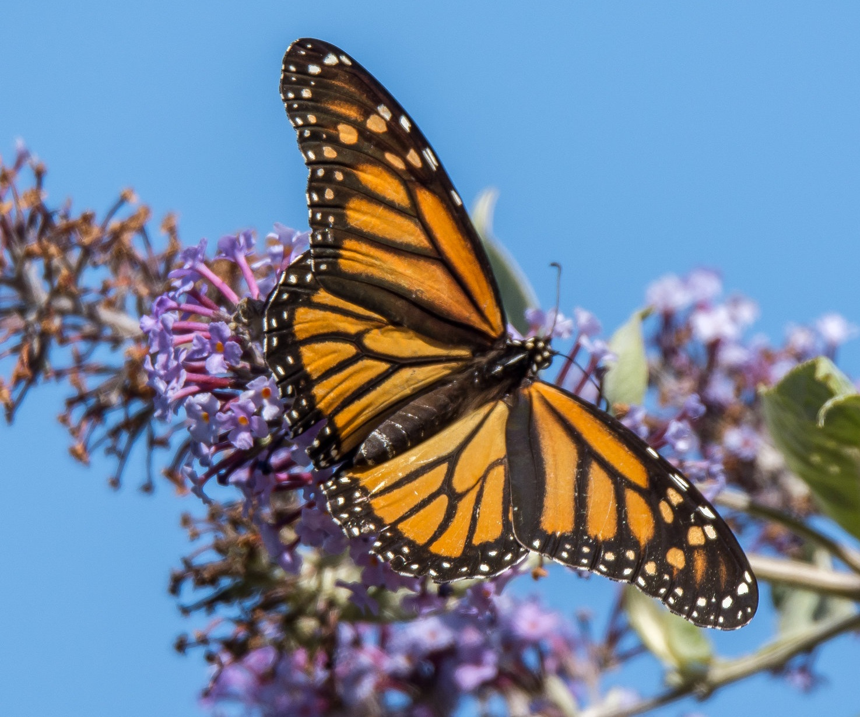 Monarch Butterfly © Carlos Porrata