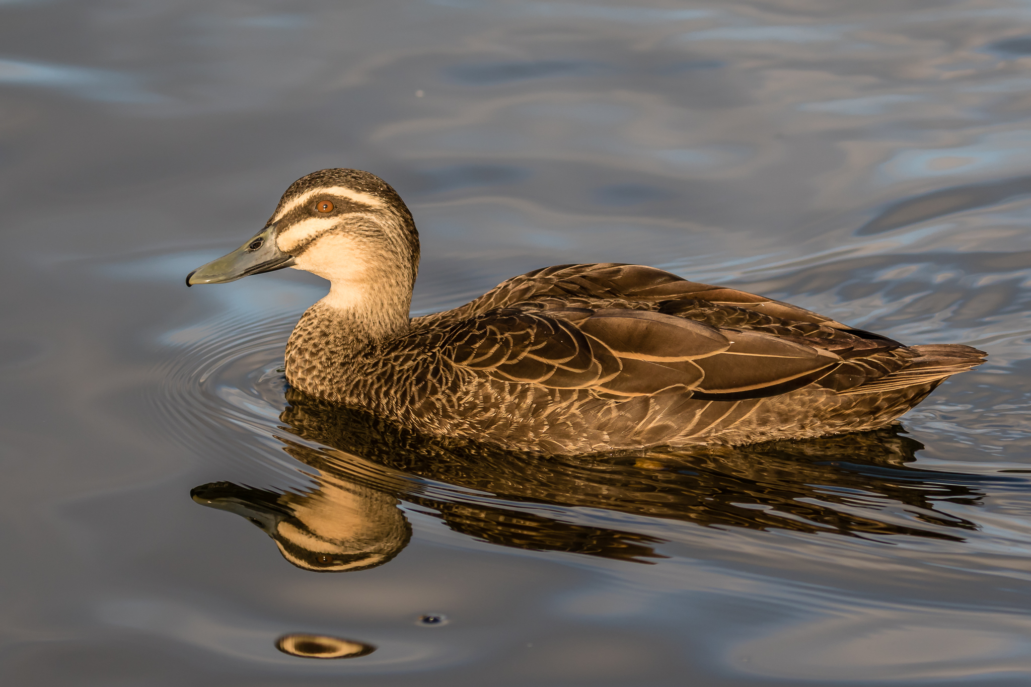 The common Pacific Black Duck (60 cm) is found at most Australian wetlands. They consume a mainly vegetarian diet.