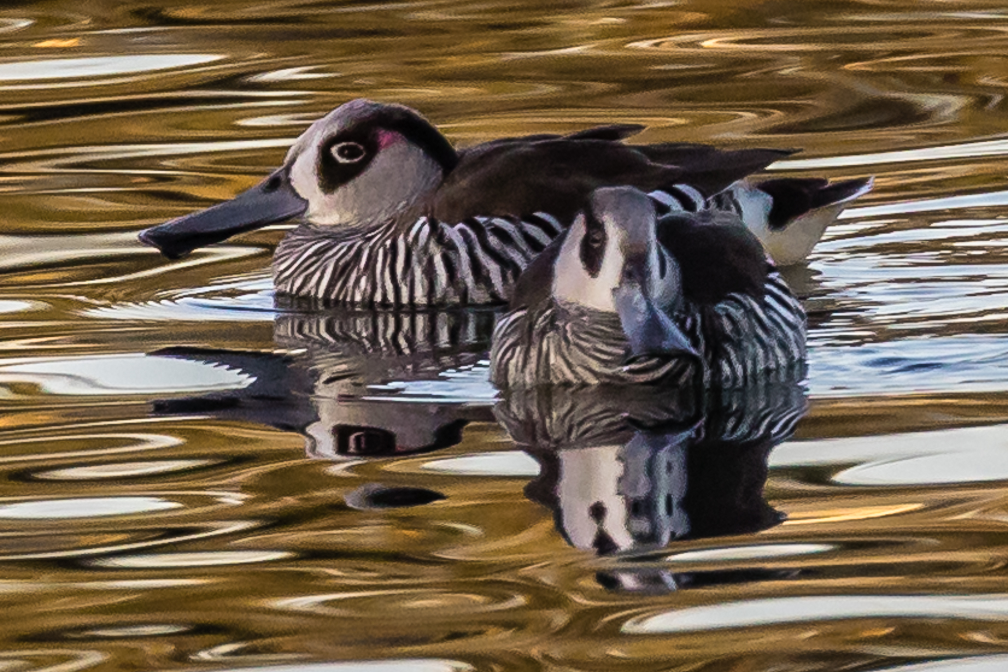 The Pink-eared Duck (45 cm) is found across most of Australia on inland wetlands. Pink-eared Ducks feed on plant and animal matter filtered through their specially adapted bill.