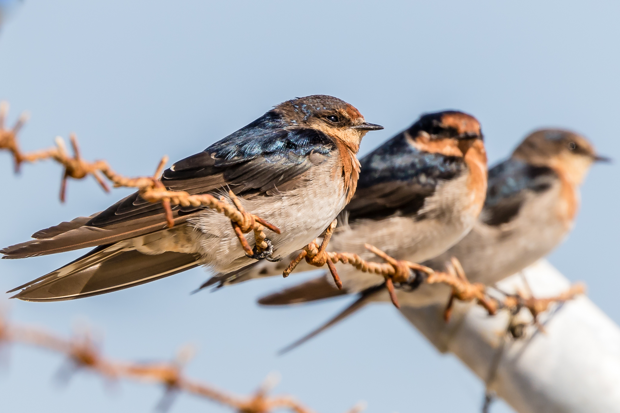 In ninth place, Welcome Swallows swoop for insects over parks, playgrounds and ponds.