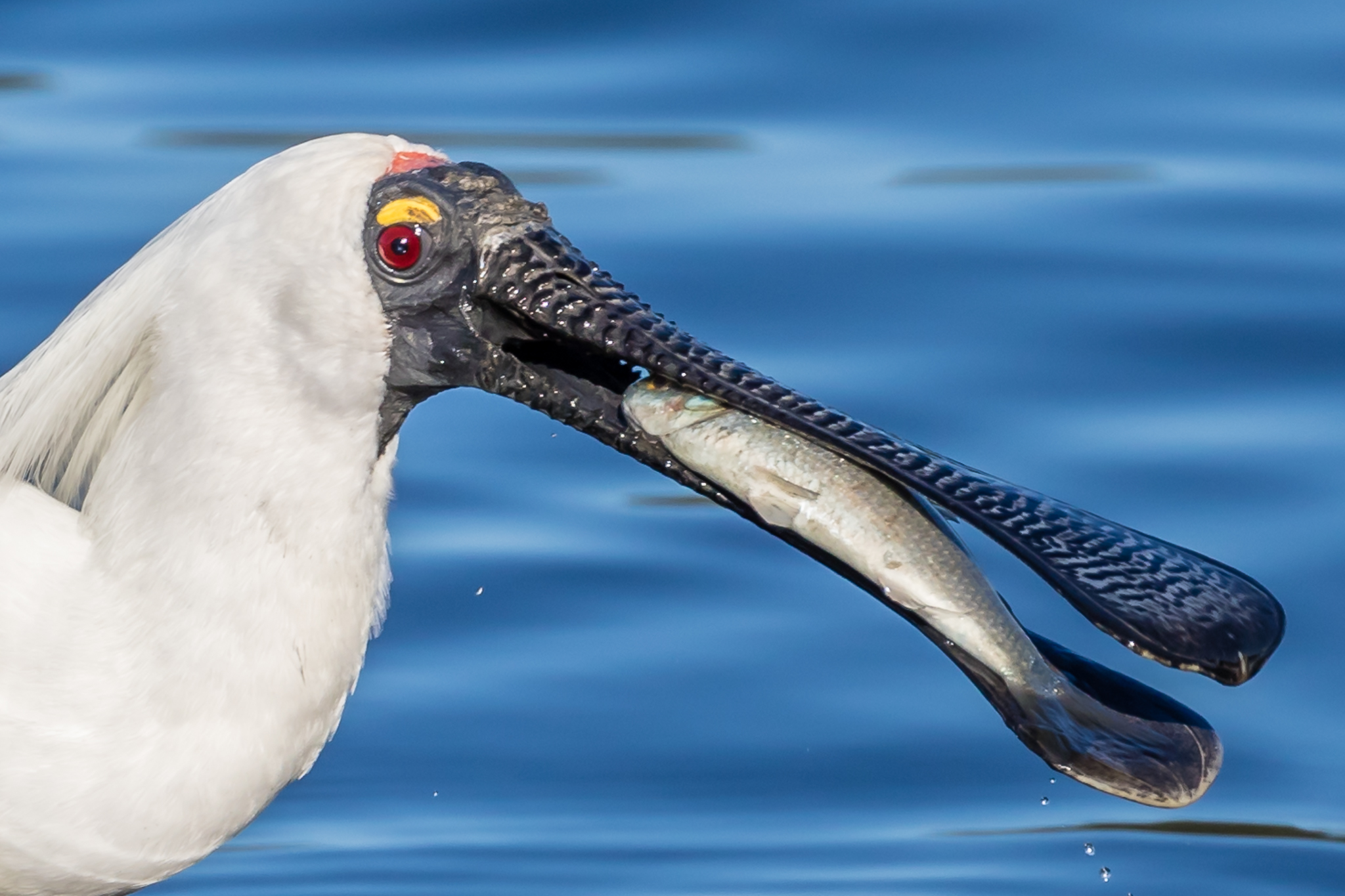 Expect the unexpected. If you go to Sydney's Olympic Park you might see this Royal Spoonbill feeding!
