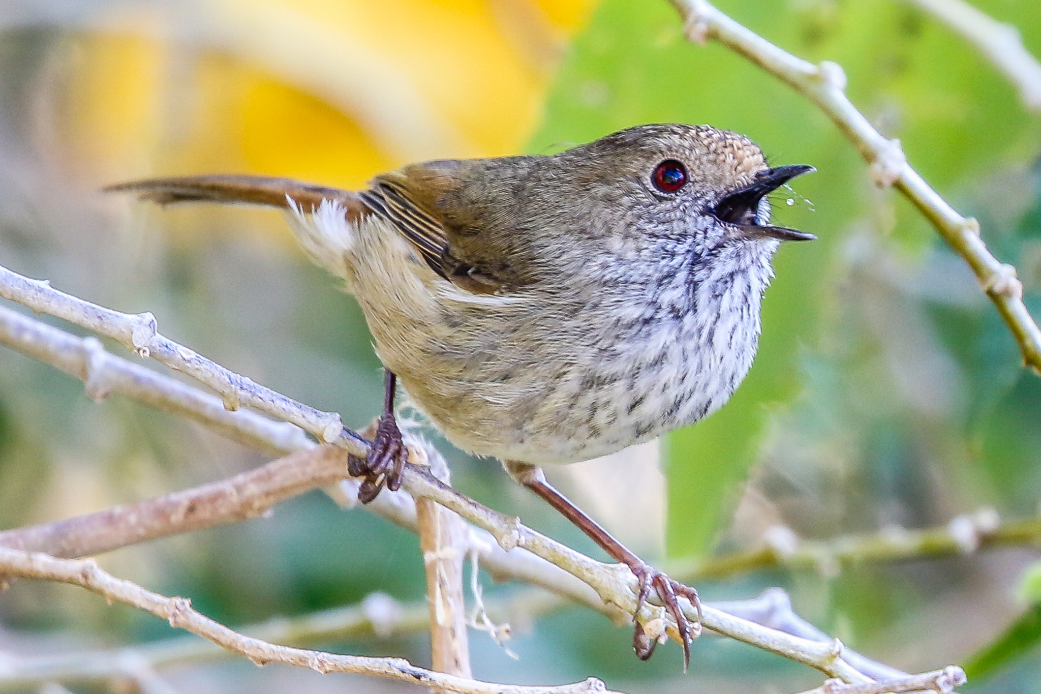 The Brown Thornbill uses dense and shrubby bush to provide food, shelter and safety. Bush clearing reduces numbers and endangers these and other small birds.