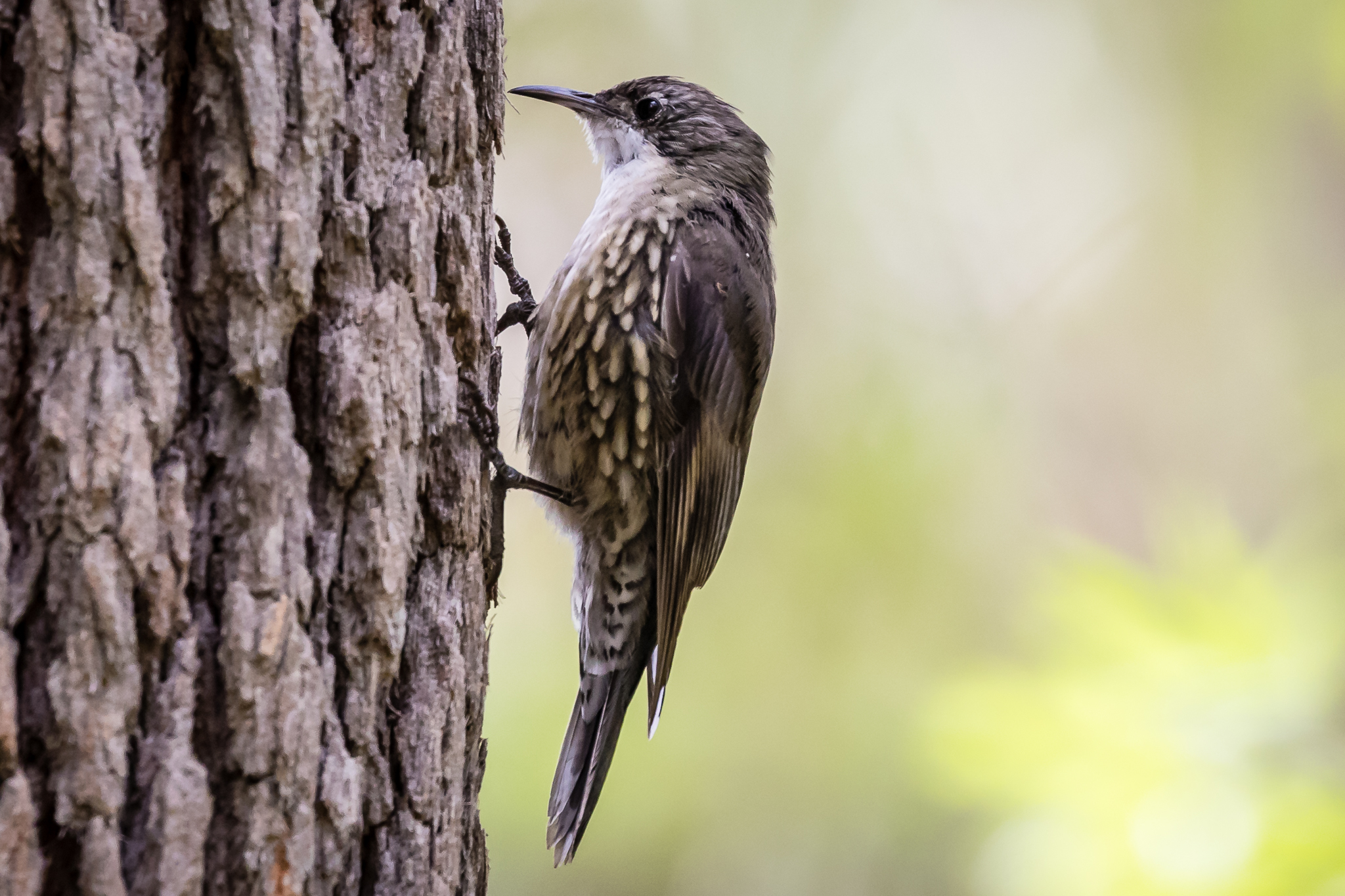 The White-throated Treecreeper is a woodland inhabitant. It pecks its way up trees searching for ants.