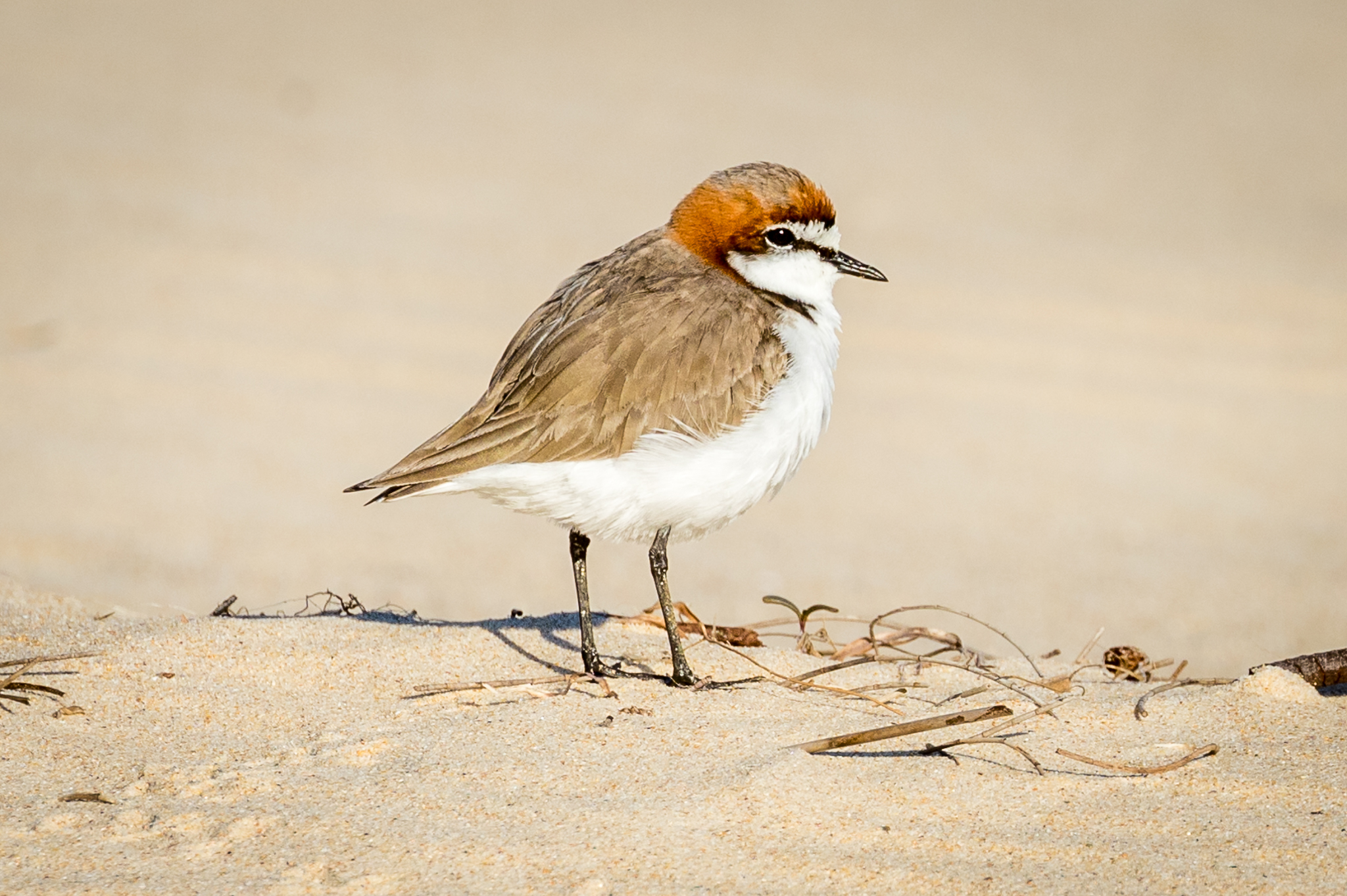 Between sea and dunes small birds like this Red-capped Plover dodge beach goers to feed at waters edge. Red-capped are the most common of the plovers and seen on most Australian sandy beaches.
