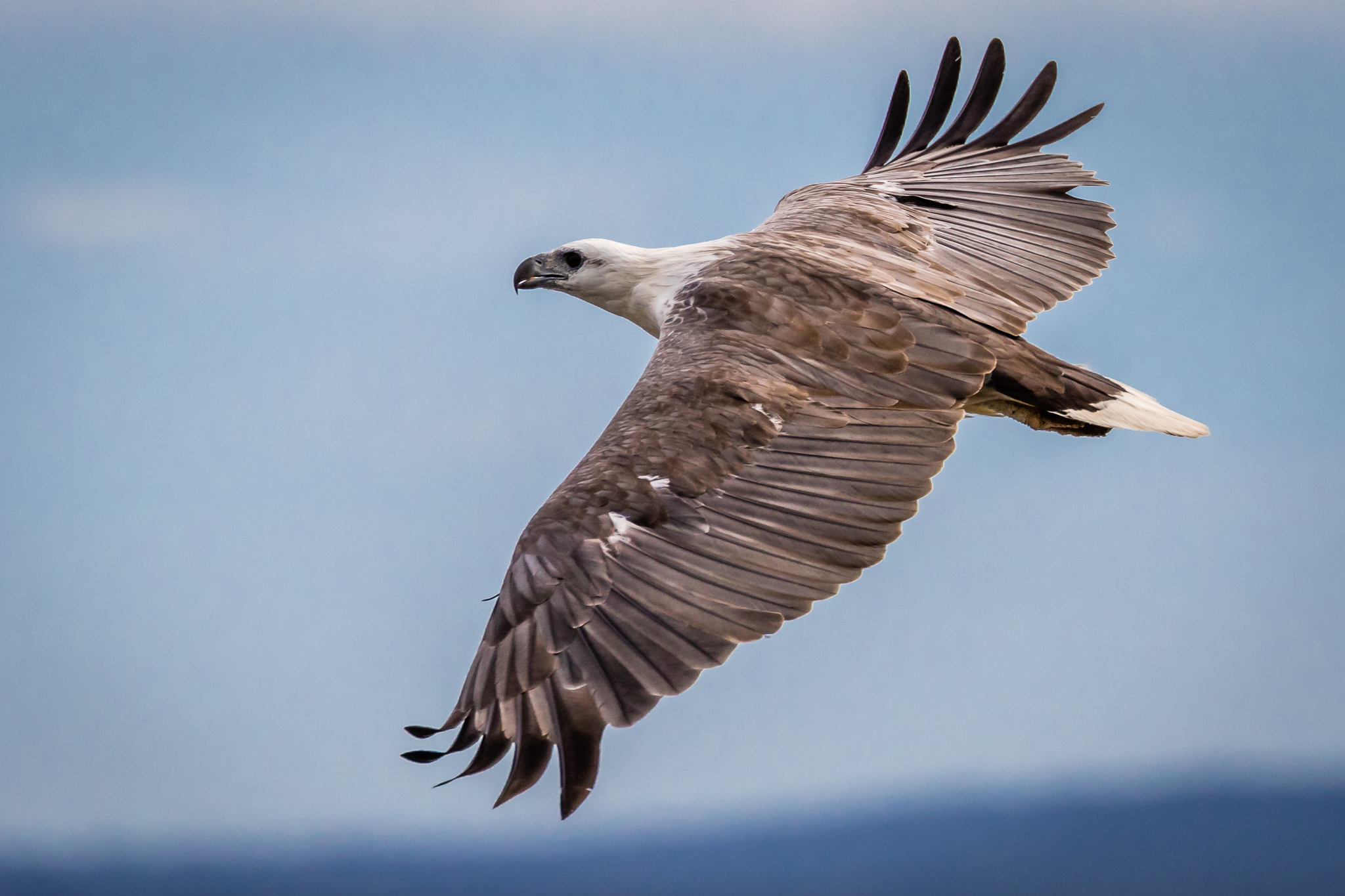 White-bellied Sea-Eagles are often seen perching in trees near the sea before soaring effortlessly. They are found around Australia's coast but also on inland waterways and lakes.