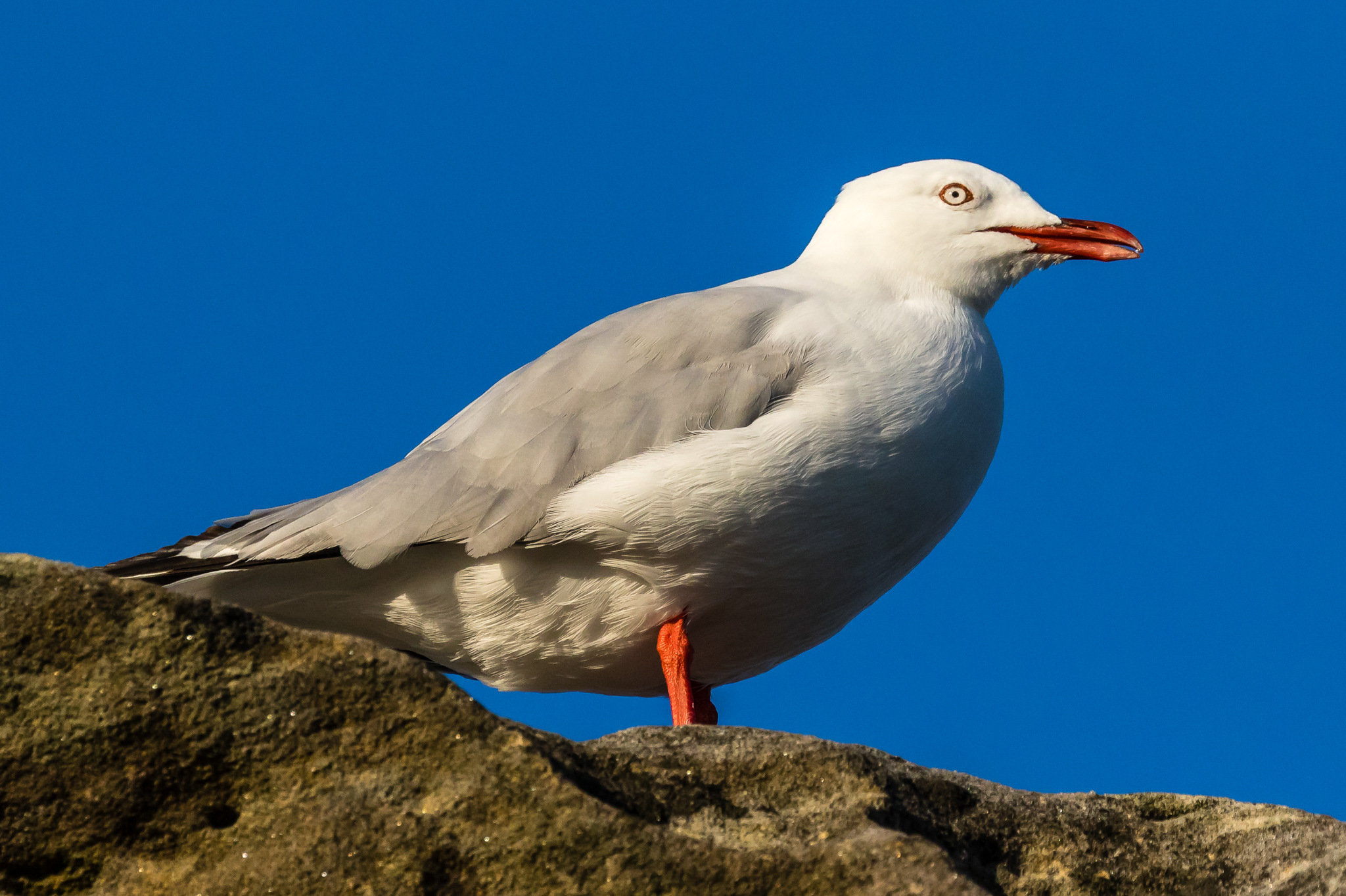 Silver Gulls, the most common Australian gull, is a familiar scavenger of food scraps at the beach and around the city.