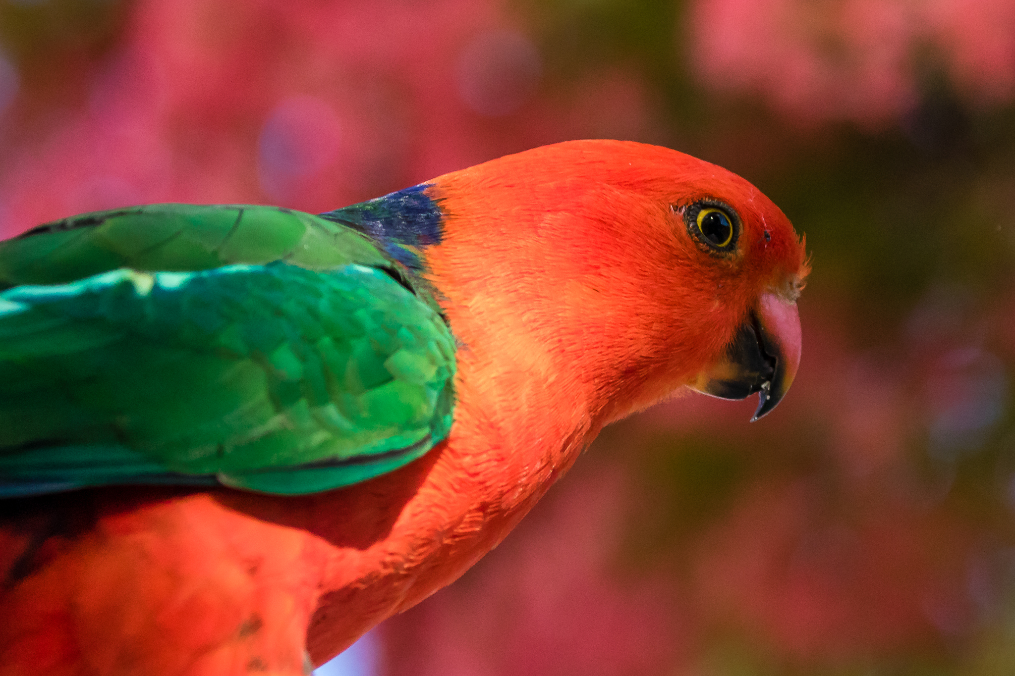 This beautiful male Australian King-Parrot also lives in the woodlands and rainforests of Australia's east coast.